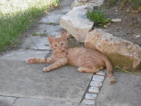 Roter Tiger, genannt Tigerle