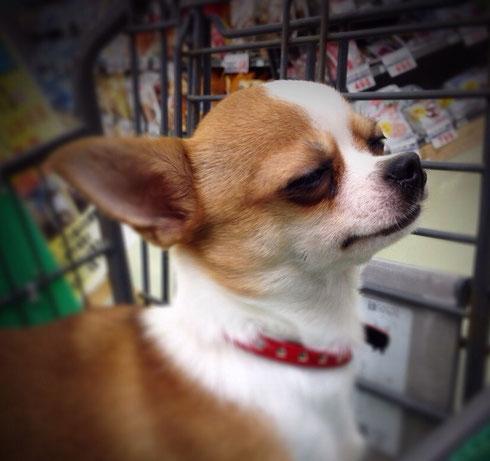 鶴岡市のチワワ「ナナちゃん」1歳☆むーっ!(笑)