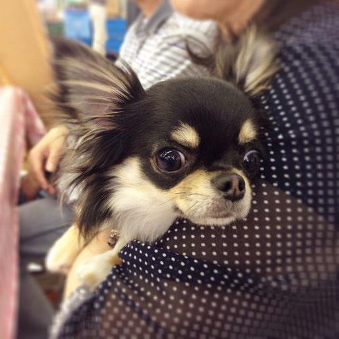 チワワの本日のムサシ鶴岡店犬のしつチワワの「クー君」11ヶ月★