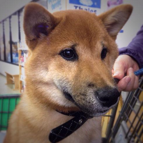 鶴岡市の柴犬「まーくん」6ヶ月★