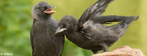 Vogel des Jahres 2012 - Die Dohle