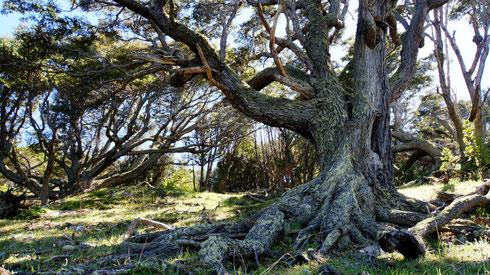 Uralte, vom Wind geformte Bäume säumen den Weg.