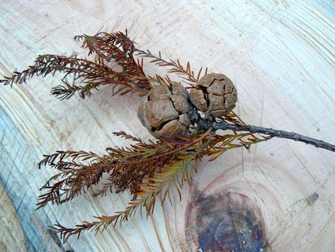 メタセコイアの種子