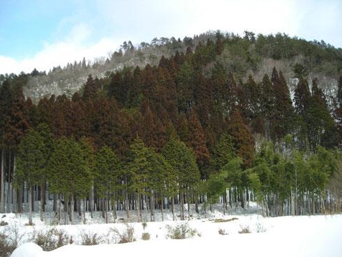 鉄錆色の杉