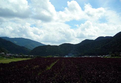 大原:紫蘇畑