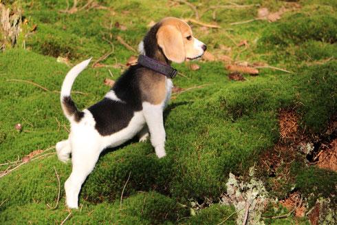 Finya, Beagle