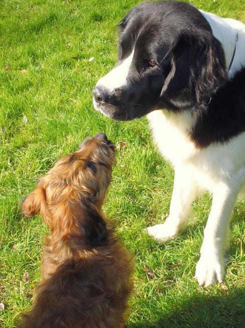 Junge Hunde orientieren sich an älteren.