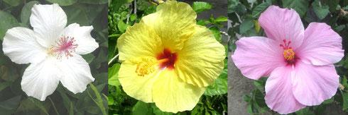 ∞ ハイビスカスの花 「神様に捧げる花」