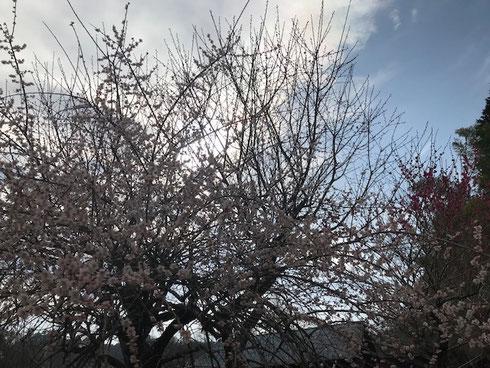 庭木の梅は満開!