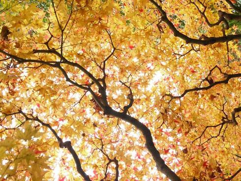鎌倉の黄色い紅葉