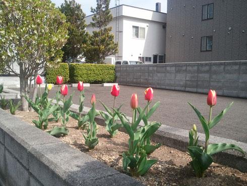 ショールーム開花