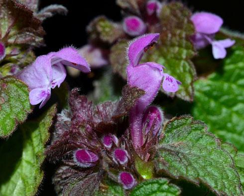 1. März 2014 Blüte von der Seite