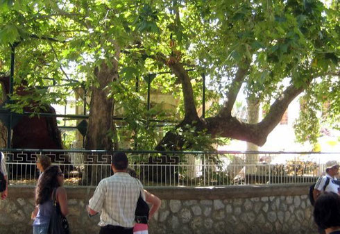 Hippocrates Ağacı