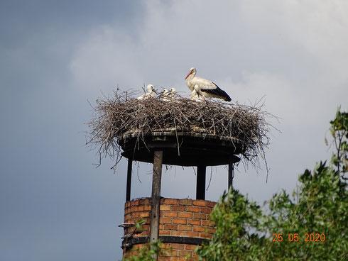 Vier Jungstörche schauen über den Nestrand! Foto: Dieter Mose