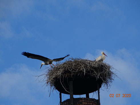 4. Jungstorch startet seinen Jungfernflug!  Foto: Ulrike Mose