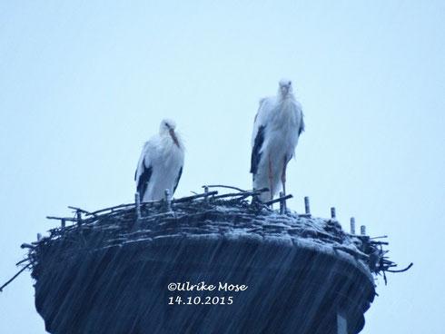 Storchenpaar Paul + Pauline im Schneegestöber.