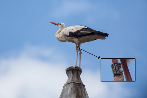 Storch Heinrich präsentiert sich auf dem Dachtürmchen dem Fotografen  Dr. Eckehard Flotho!