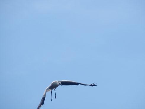 Pedro hat seinen Jungfernflug gemacht!!  Foto: Ulrike Mose