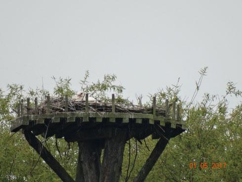 Brutstorch auf dem Storchenhorst in Unshausen. Foto: Ulrike Mose