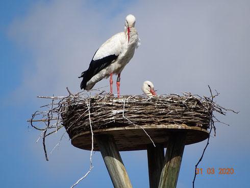 Das Storchenpaar Kira und Carlos genießen das Leben im neuen Nest!! Foto: Ulrike Mose