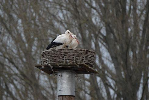 Neues Storchenpaar Kira + Carlos auf dem Storchenhorst I in den Ederauen.