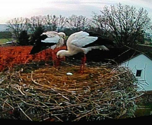 Erstes Ei ist bei Storchenpaar Romy und Merlin gepurtzelt.   Foto: Krüger Wiegand