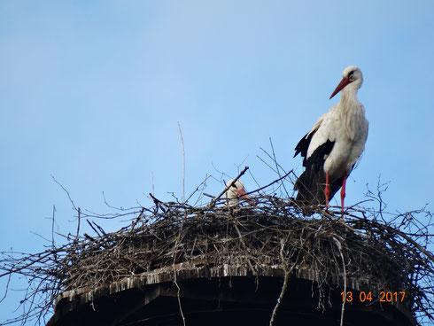Unser Storchenpaar Paco und Marie werden Eltern!   Foto: Ulrike Mose