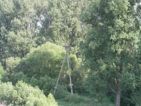 Storchenhorst an der Eder, zwischen verschiedenen Pappeln.    Foto: Ulrike MoseStorchenhorst an der Eder.    Foto: Ulrike Mose