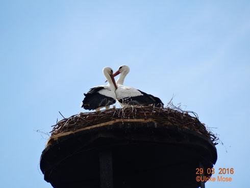 Neues Storchenpaar Paco + Antonia auf dem neuen Nest!!