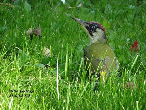 Grünspecht bei der Suche seiner Lieblingsspeise, in unserem Garten!