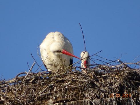 Unser Storchenpaar hat mit der Brut begonnen!!  Foto: Ulrike Mose