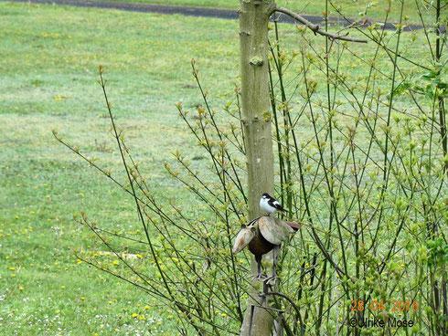 Trauerschnäpper in unserem Garten.   Foto: Ulrike Mose