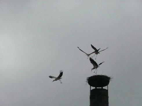 Storchenpaar  Paul + Pauline möchten das Nest und greifen das Paar Jule + George  von der Eder an.