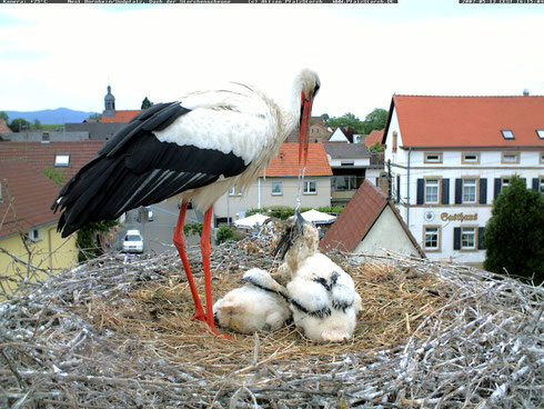 Foto:  AktionPfalzStorch