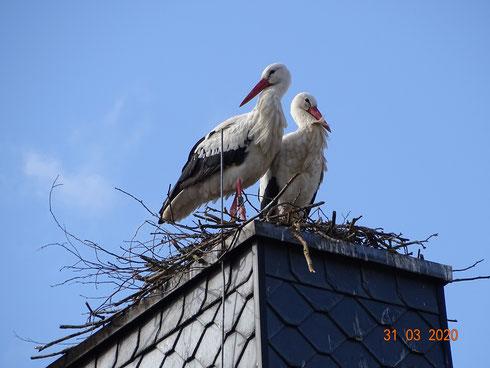 Neues Storchenpaar baut sich ein neues Zuhause!   Foto: Ulrike Mose