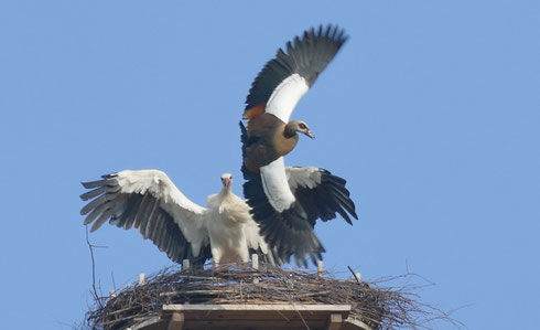 Ehemaliger Jungstorch vom Spänebunker, verteidigt sein Nest auf dem Leonardsturm in Alsfeld!  Foto:  Walter Märke