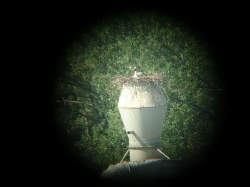 Wartendes Storchenmännchen Felix auf dem Spänebunker