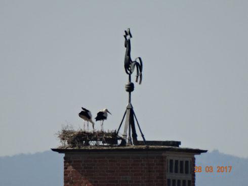 2017 * Das ehemalige Storchenpaar auf der Katholischen Kirche. Foto: Ulrike Mose
