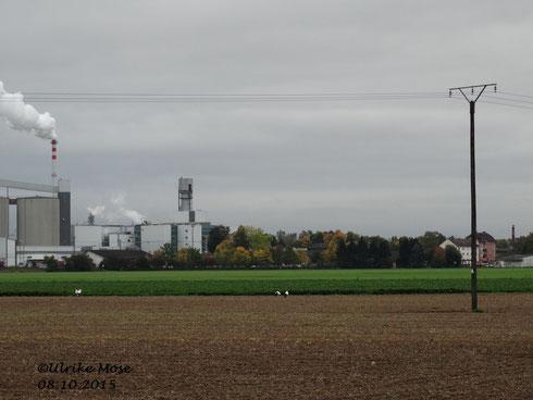 Zwei Storchenpaare auf einem Acker. Im Hintergrund befindet sich links die Zuckerfabrik und recht unser Schreinereischornstein mit dem Storchennest.