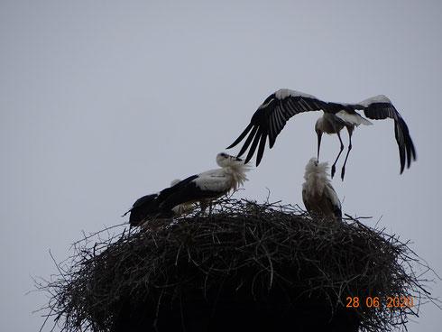 Nach erfolgreichem ersten Flug, sicherer Landeanflug aufs Nest!! Foto: Ulrike Mose