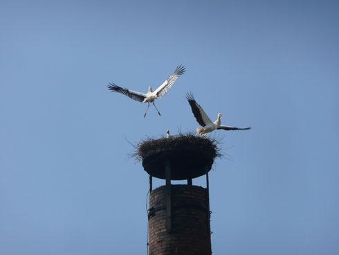 Kampf ums Nest am 25.04.2013    Foto: Ulrike Mose