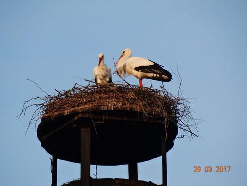 Unser neues Storchenpaar Paco und Marie haben sich gefunden.   Foto: Ulrike Mose