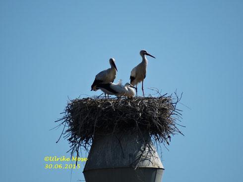 Die kleine Storchenfamilie vom Spänebunker!!