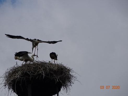 Storchenjunge landet nach seinem Jungfernflug auf dem Nest. Foto: Ulrike Mose