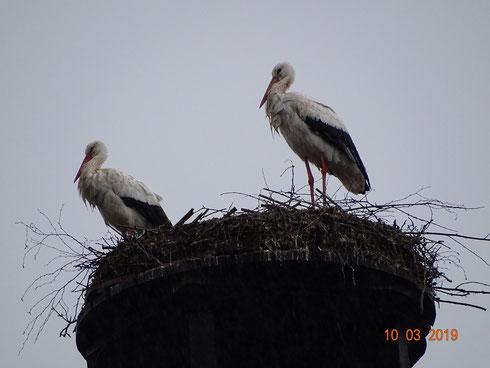 Storchenpaar Paco und Marie stehen sprichwörtlich im Regen!! Foto: Ulrike Mose