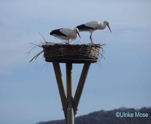 Das ehemalige Storchenpaar Jule + George von der Eder nistet sich erneut auf dem Riedinger Horst ein!