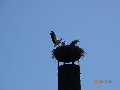 2. Jungstorch landet nach Jungfernflug erfolgreich im Nest!  Foto Ulrike Mose