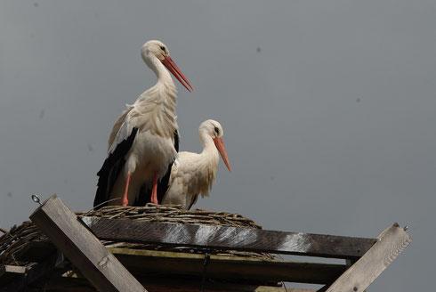Neues Storchenpaar auf dem Dach der Storchenpflegestation.   Foto: Andrea Krüger Wiegand