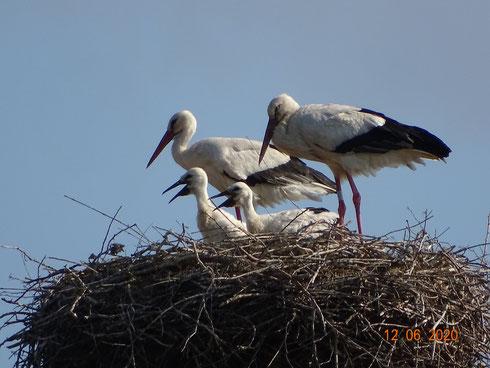 Storchenfamilie vom Spänebunker Blecher!  Foto: Ulrike Mose