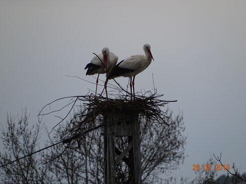 Storchenpaar vom Unshäuser Horst fängt auf dem Masten an zu bauen